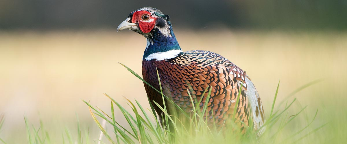 Game Birds Photography